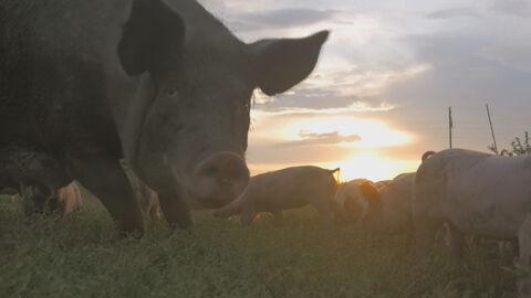 Faut-il arrêter de manger des animaux? + Hybrids